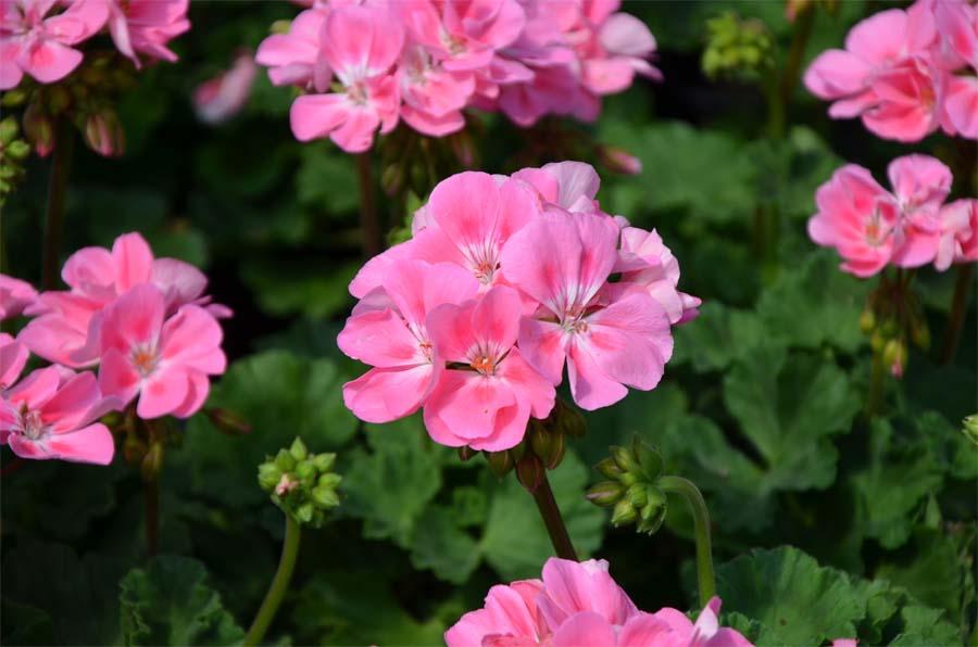 Le g ranium produit ici a change tout carr de terre by jardiland - Quand rentrer les geraniums ...